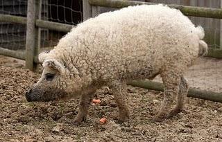 El cerdo oveja