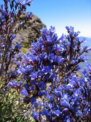 Echium gentianoides (La Caldera De Taburiente)