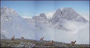 El rebeco de los Picos de Europa