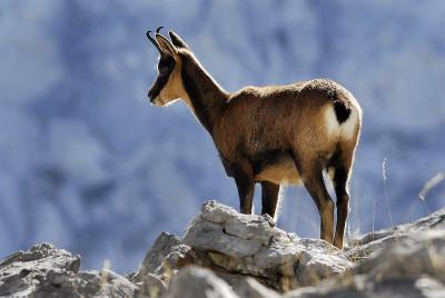 Rebeco en el Parque Nacional de los Picos de Europa